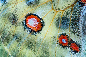 Apollo butterfly (Parnassius apollo) close up detail of wing spots , Aosta Valley, Gran Paradiso National Park, Italy.  -  Edwin Giesbers