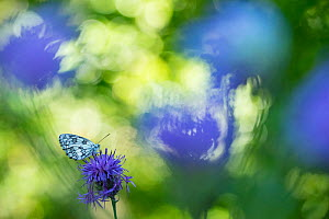 Marbled white butterfly (Melanargia galathea) on knapweed, with soft focus bokeh effect, Aosta Valley, Gran Paradiso National Park, Italy. - Edwin Giesbers
