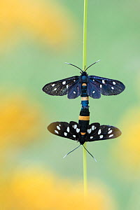 Nine spotted moth (Amata phegea) pair mating, Aosta Valley, Gran Paradiso National Park, Italy. - Edwin Giesbers