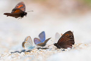 Arran brown (Erebia ligea) and Blue butterflies (Lycaenidae) species, drinking on mineral-rich stream bank; Aosta Valley, Gran Paradiso National Park, Italy.  -  Edwin Giesbers