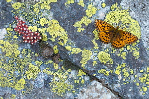 Titania's fritillary (Boloria titania) basking on rock with Lichens (Rhizocarpon geographicum) and houseleek plant (Sempervivum arachnoideum) Aosta Valley, Gran Paradiso National Park, Italy.  -  Edwin Giesbers