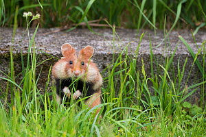 European hamster (Cricetus cricetus) in graveyard, with cheek pouches full, Vienna, Austria. - Edwin Giesbers