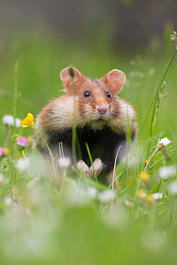 European hamster (Cricetus cricetus) in grass with cheek pouches full, Vienna, Austria. - Edwin Giesbers