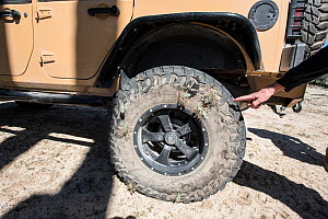 Cholla cactus (Opuntia molesta) spines stuck in car tyre, Catavina, Baja California, Mexico - Doc White