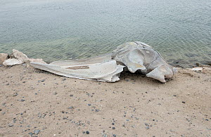 Gray whale (Eschrichtius robustus) skull, washed up on beach, Scammons Lagoon, Baja California, Mexico  -  Doc White
