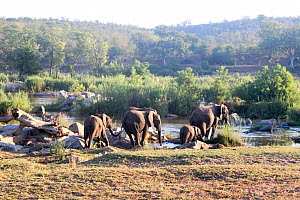 African elephant (Loxodonta africana) herd, Kruger National Park, South Africa.  -  Wild Shots Outreach