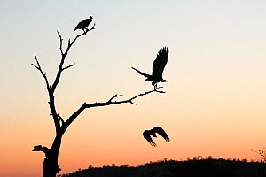 White-backed vulture (Gyps africanus) group of three, with two in flight, silhouetted at sunset, Kruger National Park, South Africa. Picture taken by Tharollo Shaai during residential photography cour...  -  Wild Shots Outreach