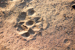 Leopard (Panthera pardus) track, South Africa. Picture taken by pupil Mapinye Rammallo during Wild Shots Outreach Residential Course.  -  Wild Shots Outreach