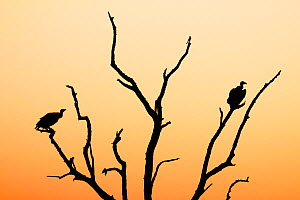 White backed vulture  (Gyps africanus) two silhouetted at sunset,  Kruger National Park. South Africa. Picture taken by pupil Israel Morei during Wild Shots Outreach Residential Course.  -  Wild Shots Outreach