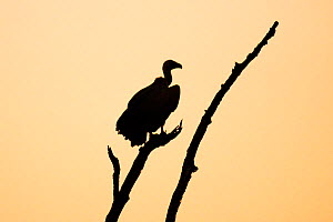 White backed vulture  (Gyps africanus) silhouetted at sunset,  Kruger National Park. South Africa. Picture taken by pupil Israel Morei during Wild Shots Outreach Residential Course.  -  Wild Shots Outreach
