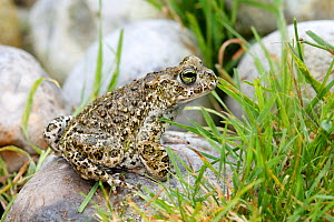 Midwife toad (Alytes obstetricans) Marquenterre Park, France, August,  -  Sylvain Cordier