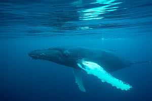 Humpback whale (Megaptera novaeangliae)just under surface, off Shetland, Scotland, UK. First ever underwater images of humpbacks in British waters.  -  SCOTLAND: The Big Picture