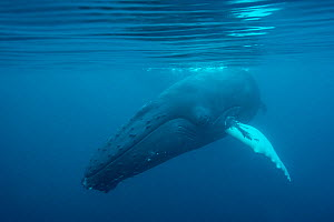 Humpback whale  (Megaptera novaeangliae) just under surface, off Shetland, Scotland, UK.  First ever underwater images of humpbacks in British waters  -  SCOTLAND: The Big Picture