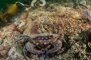 Velvet swimming crab (Necora puber) amongst burrowing anemones, in no take zone, South Arran Marine Protected Area, Isle of Arran, Scotland, UK, August.  -  SCOTLAND: The Big Picture