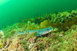 Lesser spotted catshark / Dogfish shark (Scyliorhinus canicula) on a maerl bed in no take zone, South Arran Marine Protected Area, Isle of Arran, Scotland, UK, August.  -  SCOTLAND: The Big Picture