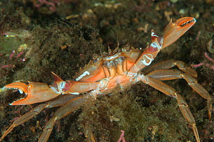 Harbour crab (Liocarcinus depurator) in maerl bed, South Arran Marine Protected Area, Isle of Arran, Scotland, UK, August. - SCOTLAND: The Big Picture