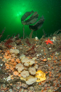 A rocky reef covered in anemones such as Plumose anemone (Metridium senile), starfish, sponges and seaweed, with fish swimming in plankton bloom in background. South Arran Marine Protected Area, Isle...  -  SCOTLAND: The Big Picture