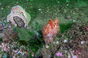 Curled octopus (Eledone cirrhosa) and a Spiny starfish (Marthasterias glacialis) on sea floor, South Arran Marine Protected Area, Isle of Arran, Scotland, UK, August.  -  SCOTLAND: The Big Picture