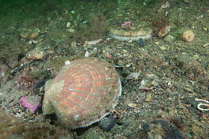 Two King scallops (Pecten maximus), South Arran Marine Protected Area, Isle of Arran, Scotland, UK, August.  -  SCOTLAND: The Big Picture