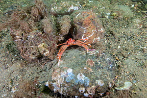 Long clawed squat lobster (Munida rugosa) amongst small boulders covered in marine life, South Arran Marine Protected Area, Isle of Arran, Scotland, UK, August.  -  SCOTLAND: The Big Picture