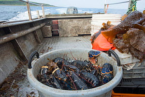 Catch of Common lobster (Homarus gammarus) in plastic basket aboard fishing boat, Lamlash Bay, South Arran Marine Protected Area, Isle of Arran, Scotland, UK, August 2016  -  SCOTLAND: The Big Picture