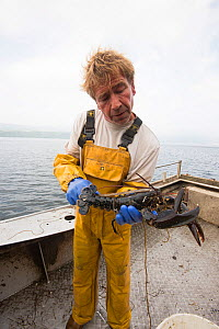 Fisherman measuring a Common lobster (Homarus gammarus) to ensure it is over the minimum landing size, Lamlash Bay, South Arran Marine Protected Area, Isle of Arran, Scotland, UK, August 2016  -  SCOTLAND: The Big Picture