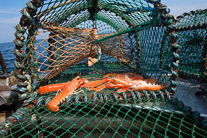 Norway lobsters (Nephrops norvegicus) in a creel / lobster pot, Lamlash Bay, South Arran Marine Protected Area, Isle of Arran, Scotland, UK, August.  -  SCOTLAND: The Big Picture