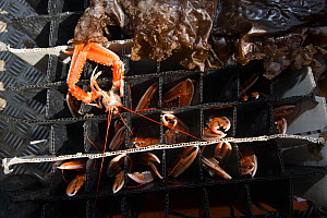 Norway lobster (Nephrops norvegicus) in tubes covered with seaweed to keep them cool. Lobsters were caught in creel / lobster pots in Lamlash Bay, South Arran Marine Protected Area, Isle of Arran, Sco... - SCOTLAND: The Big Picture