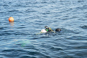 Diver going to shot line that marks the start of the survey point, Lamlash Bay, Isle of Arran, South Arran Marine Protected Area, Scotland, UK, August 2016. - SCOTLAND: The Big Picture