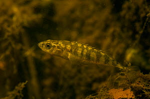 Ten-spined stickleback (Pungitius pungitius) in pond, the Netherlands, July. - Willem  Kolvoort