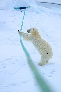 Polar bear (Ursus arctos) playing with ship's mooring rope, Svalbard, Norway. Sequence 3 of 5  -  Andy Rouse