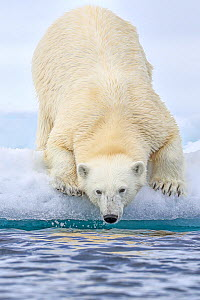 Polar bear (Ursus arctos) getting ready to enter water, Svalbard, Norway. - Andy Rouse