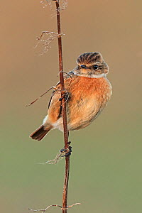 Stonechat (Saxicola rubocola) female in winter plumage, UK. - Andy Rouse