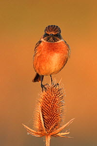 Stonechat (Saxicola rubocola) male in winter plumage on teasel, UK. - Andy Rouse