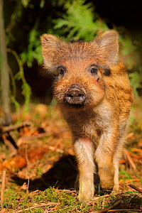 Wild boar (Sus scrofa) piglets in forest, UK.  -  Andy Rouse