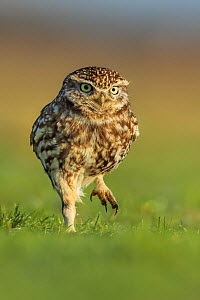 Little owl (Athene noctua) hunting for worms on grassland, UK.  -  Andy Rouse