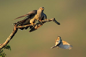 Tree pipit (Anthus trivialis) mobbing Cuckoo (Cuculus canorus), UK. May. Sequence 1 of 3  -  Andy Rouse