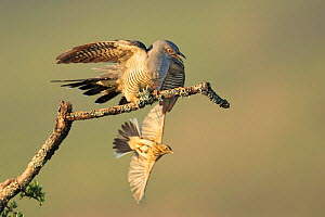 Tree pipit (Anthus trivialis) mobbing Cuckoo (Cuculus canorus), UK. May. Sequence 3 of 3  -  Andy Rouse