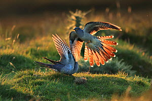 Cuckoo (Cuculus canorus) males fighting, UK.  -  Andy Rouse