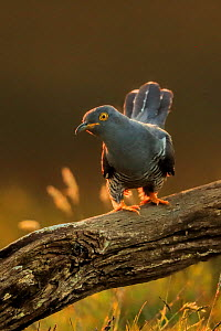 Cuckoo (Cuculus canorus) male hunting for caterpillars, UK.  -  Andy Rouse