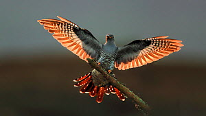 Cuckoo (Cuculus canorus) male landing, UK. - Andy Rouse