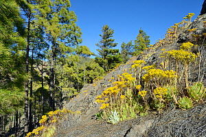 Endemic Aeonium / Tree houseleek (Aeonium simsii) flowering on volcanic mountain slope near a stand of Canary Island Pines (Pinus canariensis), Gran Canaria UNESCO Biosphere Reserve, Gran Canaria, Can... - Nick Upton