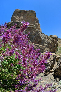 Canary island sage (Salvia canariensis) clump flowering below Roque Nublo, a volcanic basaltic monoliths on the Tablon Nublo plateau, within a UNESCO Biosphere Reserve, near Tejeda, Gran Canaria, May...  -  Nick Upton