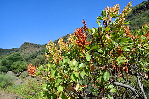 Vinegrera / Canary island sorrel (Rumex lunaria), endemic to the Canaries, flowering in mountain valley. Gran Canaria UNESCO Biosphere Reserve, Gran Canaria, Canary Islands. June. - Nick Upton