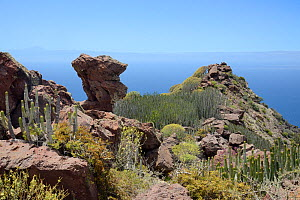 Canary Island spurge / Hercules club (Euphorbia canariensis) stands and other Euphorbias among volcanic rocks in the coastal mountains of the Tamadaba Natural Park. Gran Canaria UNESCO Biosphere Reser... - Nick Upton