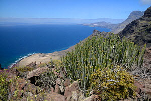 Canary Island spurge / Hercules club (Euphorbia canariensis) stand on volcanic coastal mountains of the Tamadaba Natural Park. Gran Canaria UNESCO Biosphere Reserve, Gran Canaria, Canary Islands. June...  -  Nick Upton