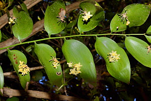 Climbing butcher's broom / Gibalbera (Semele androgyna), a Canaries endemic, flowering from leaf-like flatted stems or cladodes in montane Laurel forest / Laurissilva, Los Tilos de Moya, Doramas Rural... - Nick Upton