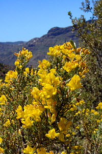 Gran Canaria broom (Teline microphylla) bushes flowering within a UNESCO Biosphere Reserve, near Tejeda. Gran Canaria UNESCO Biosphere Reserve, Gran Canaria, Canary Islands. June.  -  Nick Upton