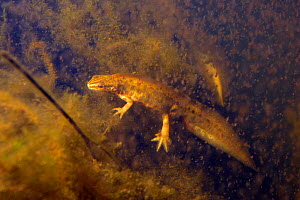 Palmate newt (Lissotriton helveticus) male in a pond maintained for newts and other pond life surrounded by Water fleas (Daphnia pulex), a major prey item, Mendip Hills, near Wells, Somerset, UK, Febr...  -  Nick Upton