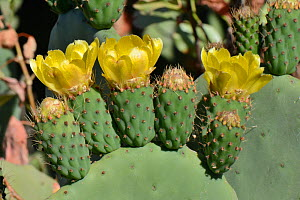 Prickly pear cactus / Barbary fig (Opuntia ficus-indica / Opuntia maxima) flowers, Gran Canaria UNESCO Biosphere Reserve, Gran Canaria. Canary Islands, June. - Nick Upton